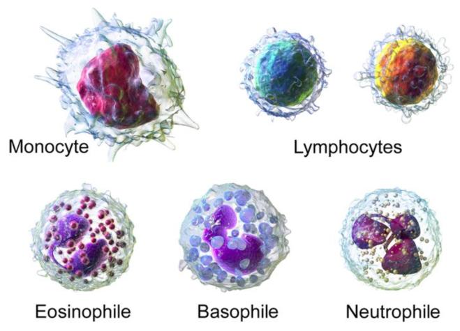 Globules blancs - http://myelitetmoi.unblog.fr