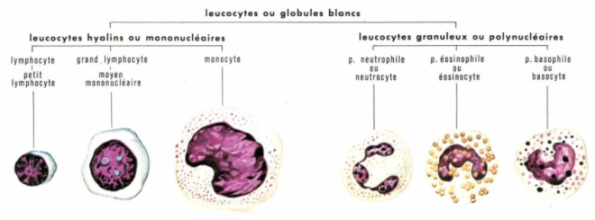 Leucocyte - Éd. 1971-1976 - LAROUSSE