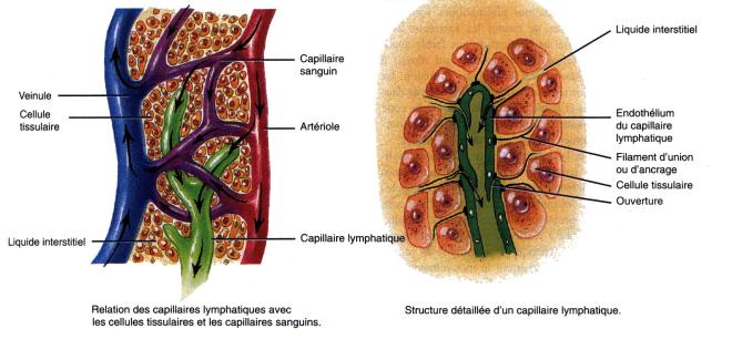 (via pixelmator) ganglionlymphatique.jpg - Le système lymphatique - inspirezvous.over-blog.com