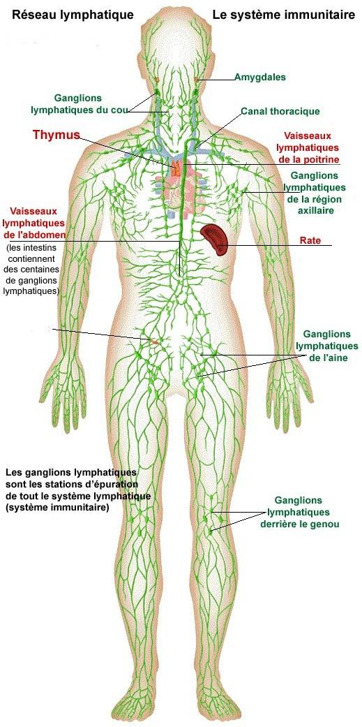 Réseau lymphatique Le système immunitaire - Lymphe Système Immunitaire: Réseau Lymphatique, Ganglions et îlots Lymphatiques - crohn.superforum.fr