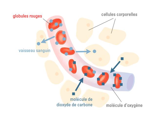 Les globules rouges oxygènent toutes les cellules du corps - TRANSPORT DE SUBSTANCES - blutspende.ch