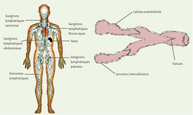 Les vaisseaux lymphatiques - www.erudit.org - looksfordiagnosis.com