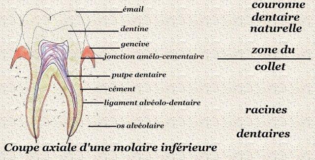 Coupe axiale d'une molaire inférieure - Les dents - ANATOMIE DE L'APPAREIL DIGESTIF - Momarrid.net - ispits.etudiantforum.com