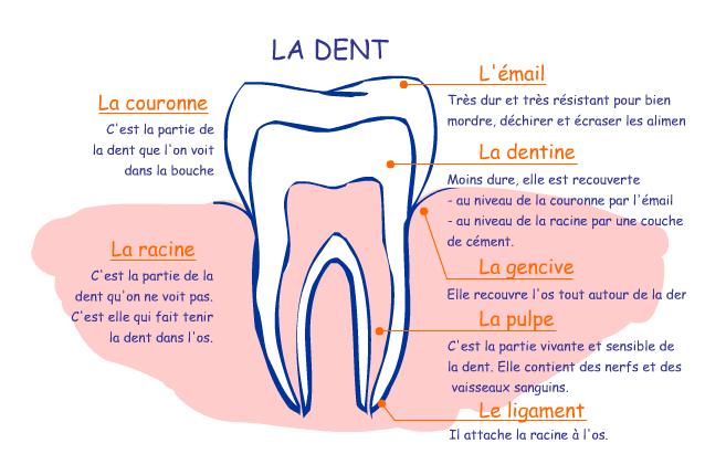 LA DENT - Physiologie d'une dent - selarl-dr-bres-stephane.chirurgiens-dentistes.fr