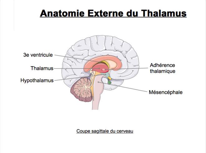 Anatomie externe du thalamus - Landmann Cédric, Langlais Valentin - Lothaire Le goff - SlidePlayer