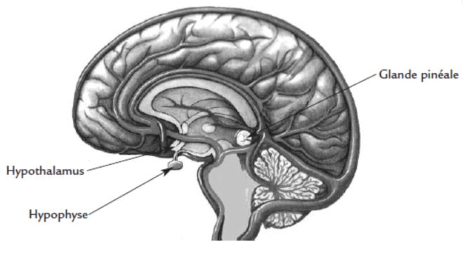 13-7. Epiphyse - Hypothalamus - Hypophyse - CHAPITRE 13. Le processus de la pensée, les niveaux de conscience - lib.qigong-zhen-pai.com