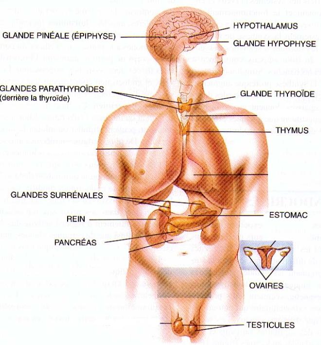 glandes endocrines - nadcou.cegep-rdl.qc.ca
