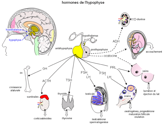 Hormones de l'hypophyse - hypophyse_hormon-2 - sosinf.org
