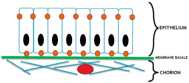 Organisation d'une muqueuse (épithélium, membrane basale et chorion). En rouge, un vaisseau qui va nourrir l'épithélium grâce au chorion. - Olivier4171 - Wikimedia Commons