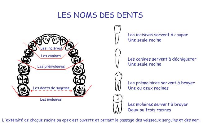 Les noms des dents - Les différents types de dents - selarl-dr-bres-stephane.chirurgiens-dentistes.fr