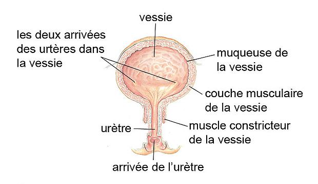 Vessie et organes voisins - liguecancer.ch