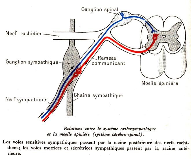 systeme-orthosympathique-moelle-epiniere - Dessins anatomie homme - Education à l'Environnement