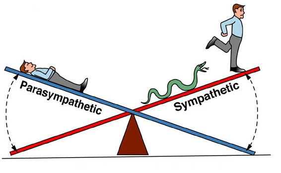 Physiologie du stress: Les systèmes nerveux sympathique et parasympathique - casayoga