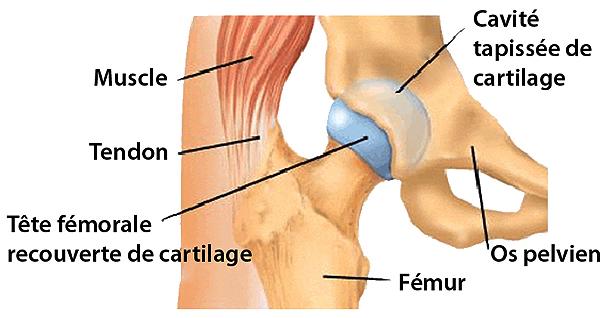 Anatomie de la Hanche - Docteur Thierry Aimard