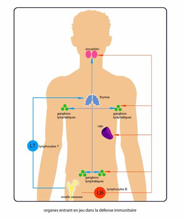 Le système immunitaire - via λόγος (immunologie) - Ecole Estienne / S.Mezzasalma - cnrs