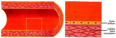 Coupe d'une artère normale. © prevention.ch - FUTURA Santé