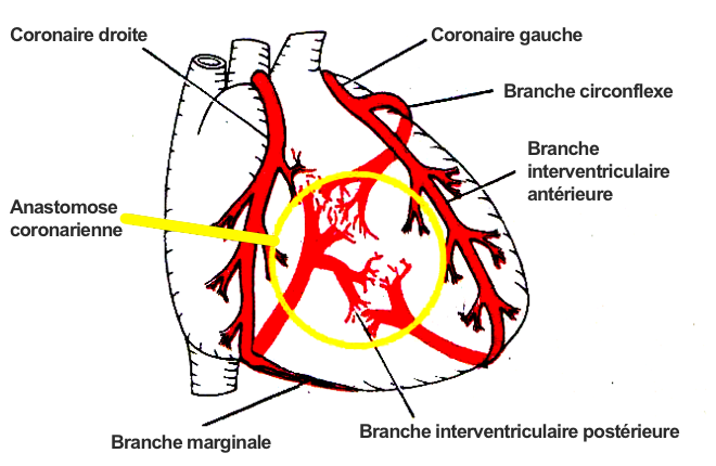 Coronary Anastomosis (A Potential Arterial Anastomosis) - Anastomosis And Its Types - mananatomy.com