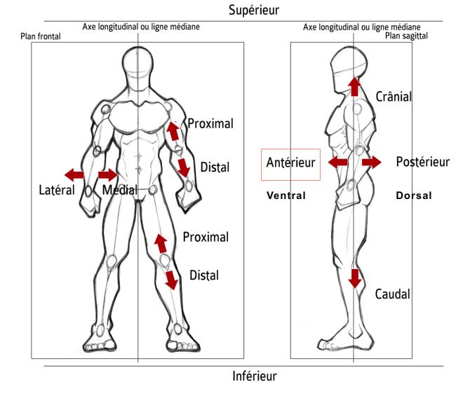 Antérieur - Orientation dans l'espace... - Description anatomique du mouvement par A. Manolova - SCIENCESDUSPORT.COM