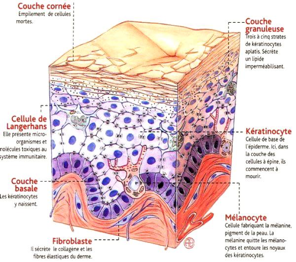 Structure de l'épiderme-2.jpg - acces.ens-lyon.fr