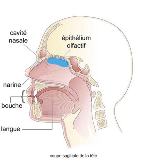 Epithelium olfactif - Lippincott, Willimams & Wilkins 2001 - La muqueuse olfactive - La détection des odeurs - tpe-homme-odeurs.e-monsite.com