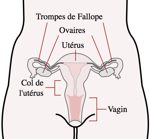 Appareil reproducteur interne de la femme - Mysid - Wikimedia Commons