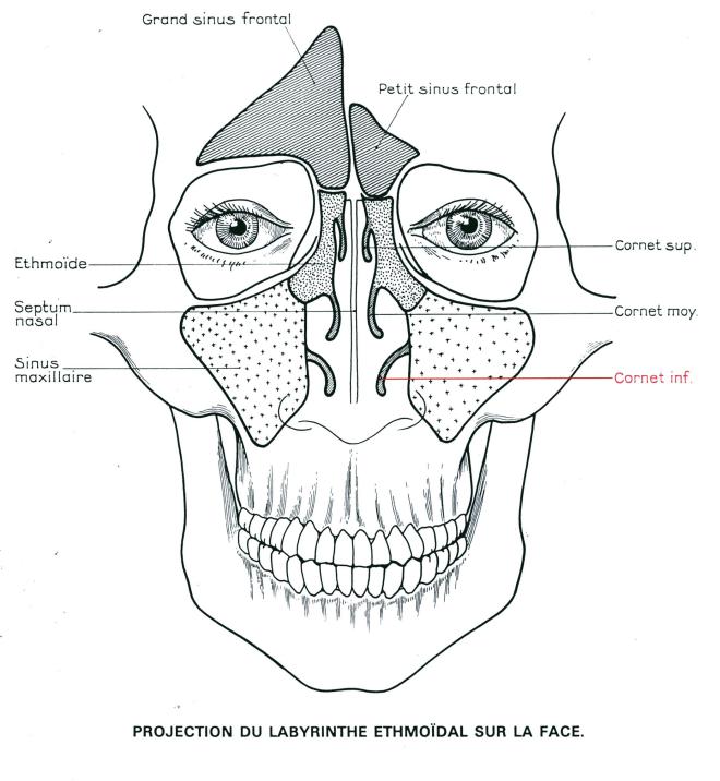 Nez et sinus - Anatomie du nez et des sinus - kamalkishore.baguant.pagesperso-orange.fr