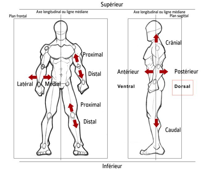 Dorsal - Orientation dans l'espace... - Description anatomique du mouvement par A. Manolova - SCIENCESDUSPORT.COM