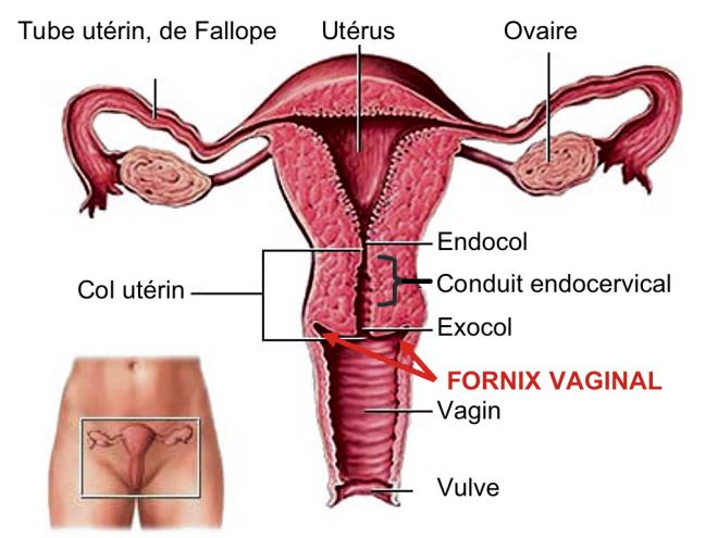 (via Pixelmator) Female reproductive system - DRRITESHSHIWAKOTI - SlideShare