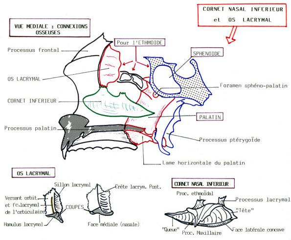 CORNETNASAL INFERIEUR et OS LACRYMAL - UBO