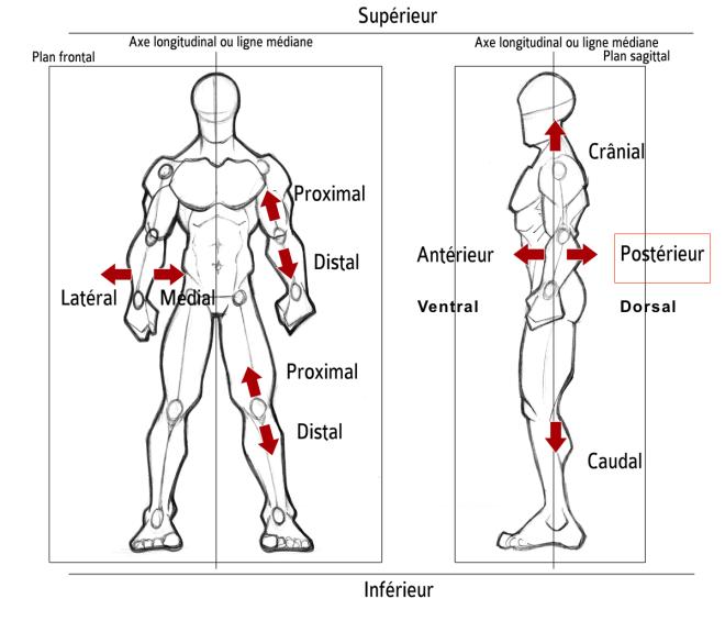 Postérieur - Orientation dans l'espace... - Description anatomique du mouvement par A. Manolova - SCIENCESDUSPORT.COM