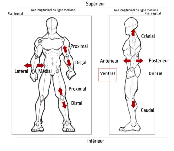 Ventral - Orientation dans l'espace... - Description anatomique du mouvement par A. Manolova - SCIENCESDUSPORT.COM