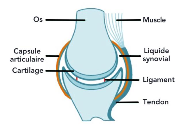 Les articulations - Les exosquelettes TPE 2014-2015 - tpeexosquelette.e-monsite.com