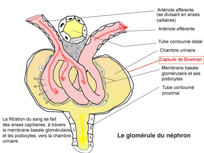 Le glomérule du néphron - Histologie et physiologie glomérulaire, vue pseudo-tridimensionnelle - Tieum - Wikipedia