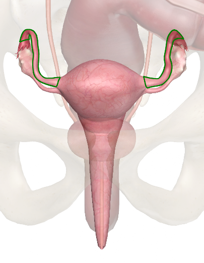 Fallopian Tube - innerbody.com