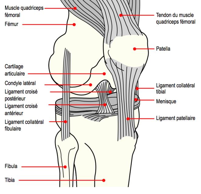 Les rapports anatomiques de la patella - Mysid - Wikimedia Commons