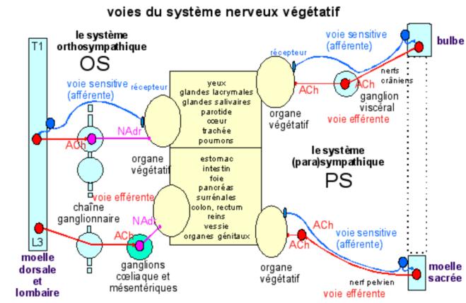 Effets de l'activité du système nerveux végétatif - Le système nerveux végétatif - pst.chez-alice.fr