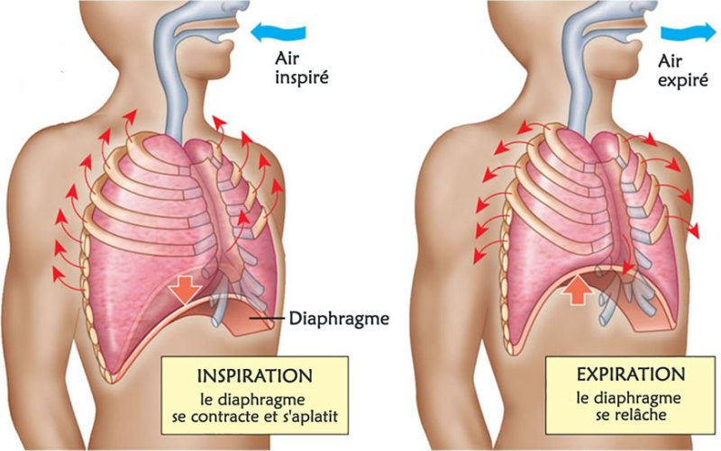 Image result for mouvements respiratoires poumon