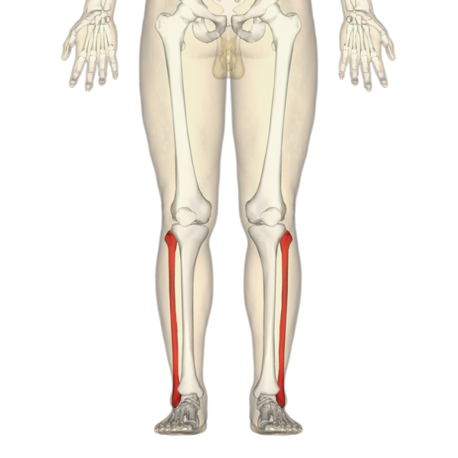 Fibula - anterior view.png - Wikimedia Commons