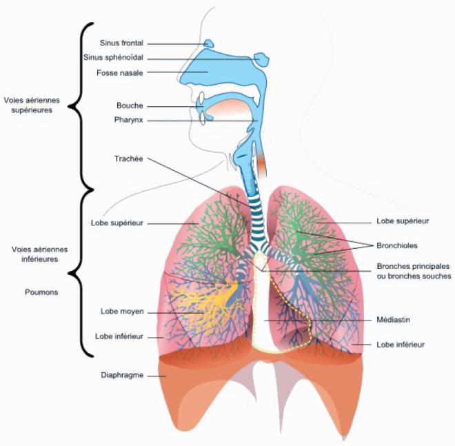 Anatomie de l'appareil respiratoire - auxbulles.com