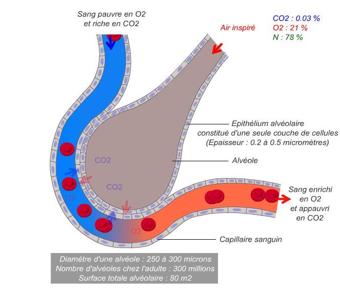 Animação sobre a difusão através dos capilares alveolares - Visualização da hematose - fisiologiahumanainfoco.blogspot.com