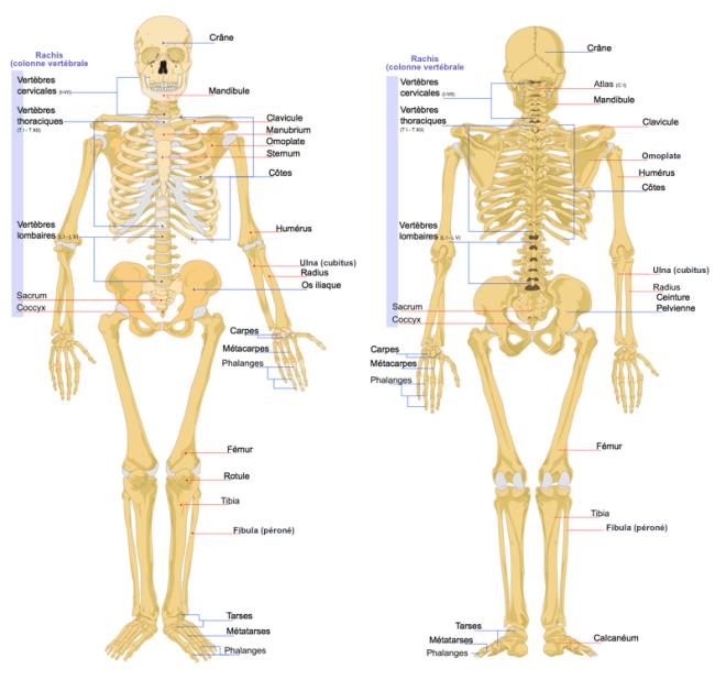 Squelette humain - Wikipédia