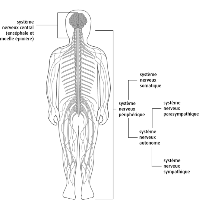 Anatomie du système nerveux - recap-ide.blogspot.com