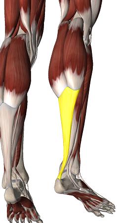 tendon d'achille - ANATOMIE 101 - MEMRiSE