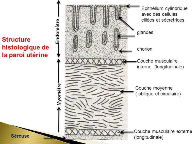 Glandes Épithélium cylindrique avec des cellules ciliées et sécrétrices - APPAREIL GENITAL FEMININ - Dr. GHALAMOUN-SLAIMI. R - slideplayer.fr