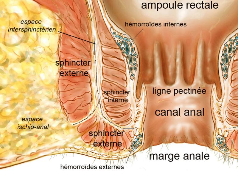 anatomie_normale - L'anatomie anale normale - hpsj.fr