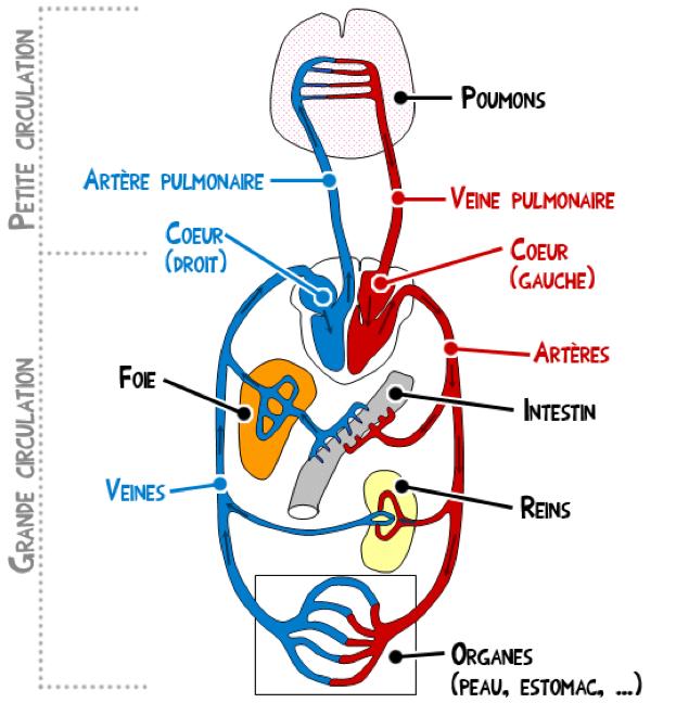 Schéma général du système cardio-vasculaire - Science Junior