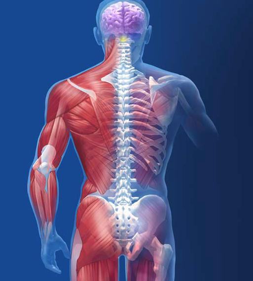 Musculoskeletal System - domenic.ferguson - emaze