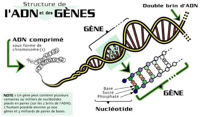 Structure de l'ADN et des gènes - mddelcc.gouv.qc.ca