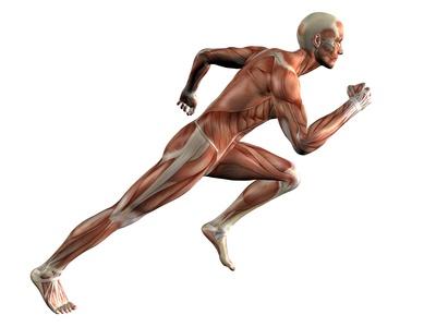 La myologie ( étude des muscles ) - Calahann - forum.espace-musculation.com