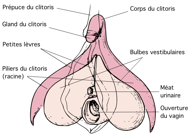Final, sorry, Images of clitoris